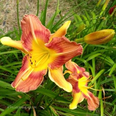 I Have Issues daylily