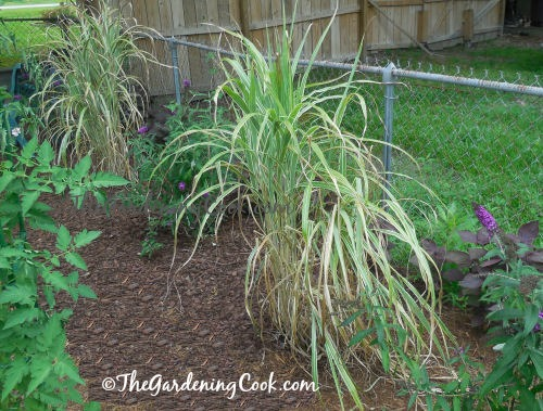 Japanese silver grass and butterfly bushes