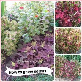 How to grow coleus.