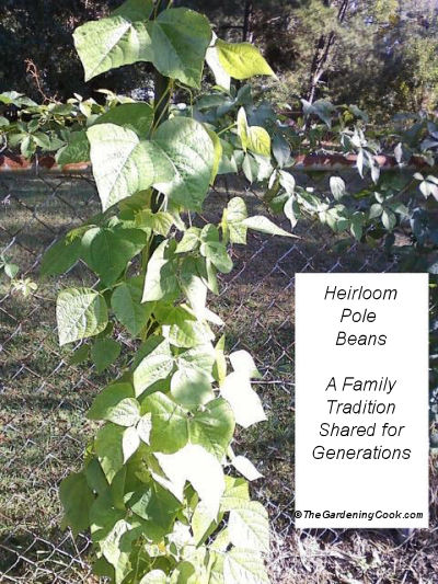 Heirloom pole beans - A family's history in the garden.