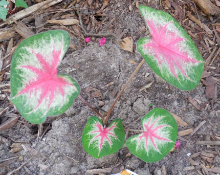 Pink and green caladiums