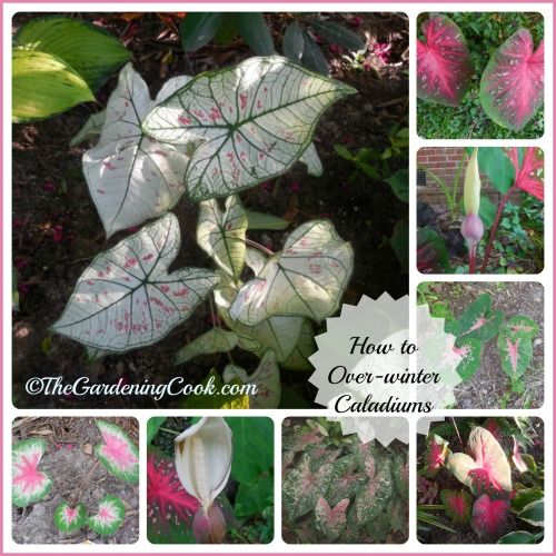 How to overwinter Caladium tubers