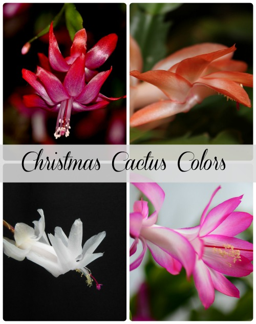 Red is not the only color for a Christmas Cactus