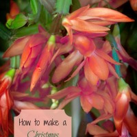 How to get a Christmas Cactus to re-flower each year