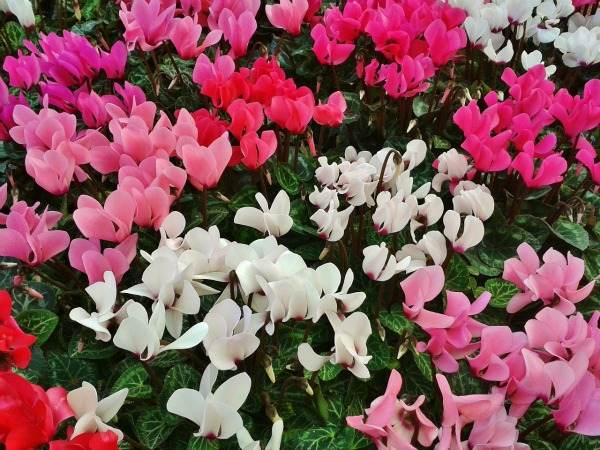 Colors of cyclamens