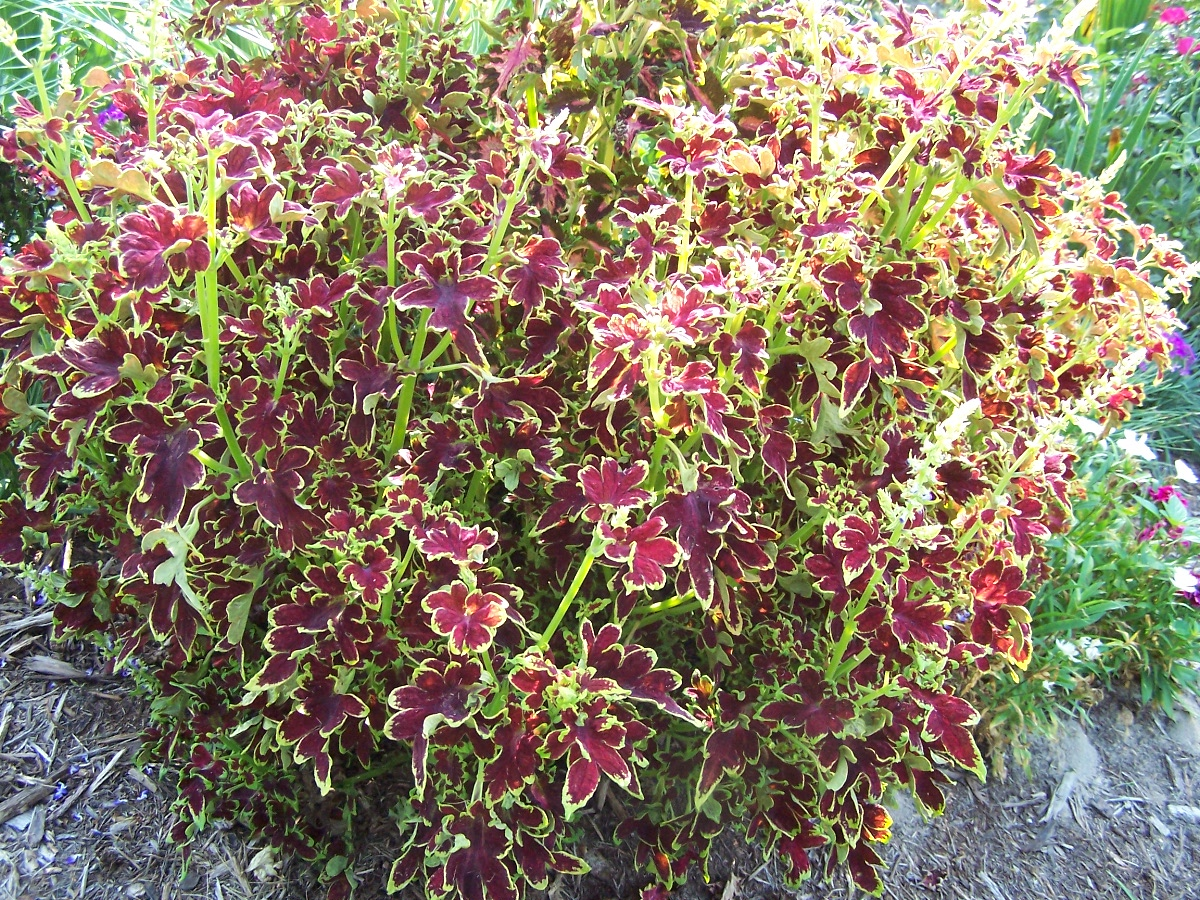 coleus plants simply cannot be beat for a splash of color all summer., Beautiful flower