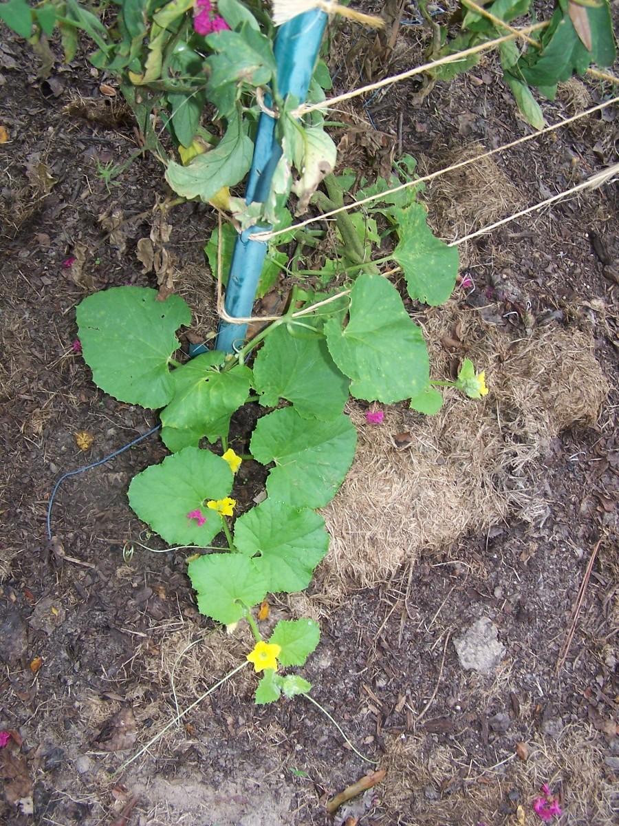 melon plants