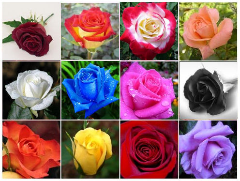 How Many Natural Colors Of Roses Are There