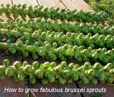 How to grow Fabulous Brussel sprouts.