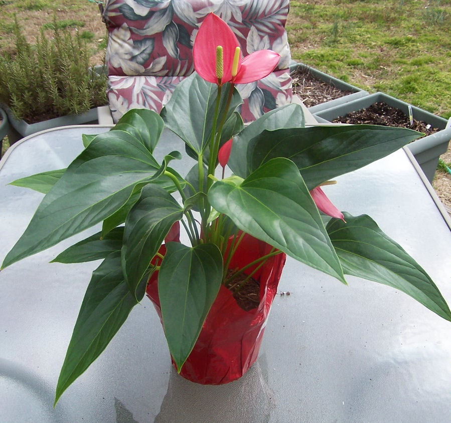 Flamingo flower anthurium tropical delight great for Easy maintenance plants and flowers