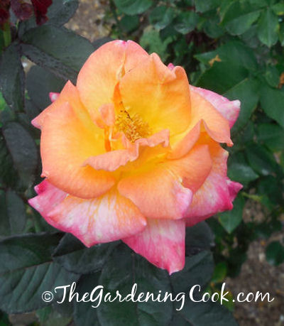 yellow rose with a red tip