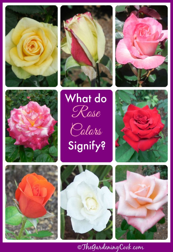 What Colors Do Roses Come In Naturally