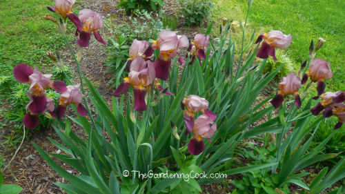 Bearded irises replanted from a dusty old bed are now blooming magnificently.