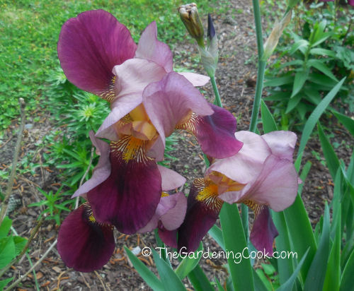 close up of my bearded irises