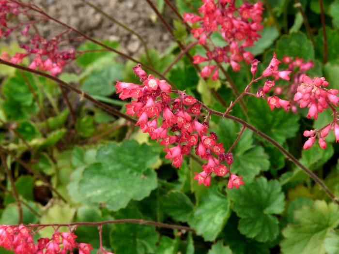 Heuchera - coral bells makes a great shade garden plant