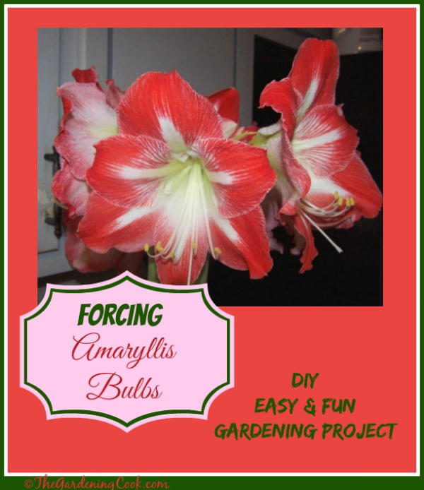 Forcing Amaryllis Bulbs indoors is an easy and fun gardening project that the kids will love. They grow so quickly and are huge. Find out how to do it at http://thegardeningcook.com/amaryllis-bulbs/