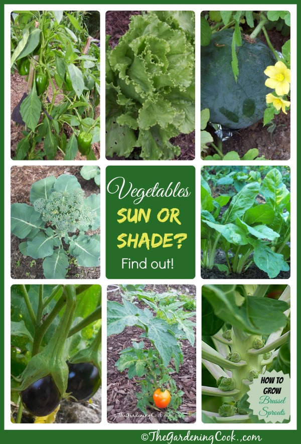 Not all vegetables are equal when it comes to sunlight.  There are some shade tolerant vegetables, too. Get the breakdown at thegardeningcook.com/sun-or-shade/