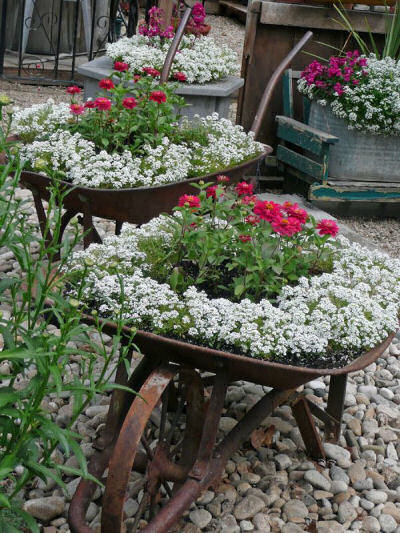 Vintage metal wheel barrow planted with sweet alyssum.