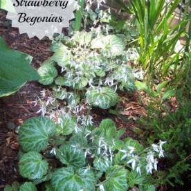 How to grow Strawberry begonia plants