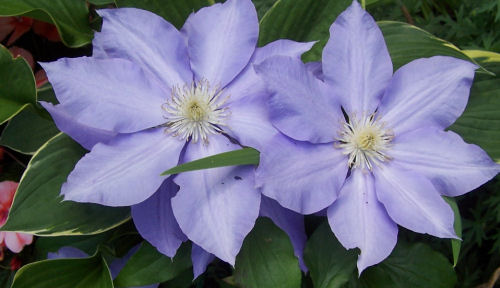 clematis close up of flowers