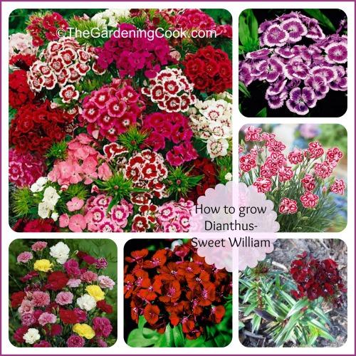 How To Grow Sweet William - Dianthus Barbadus