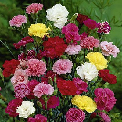Dianthus Grenadine Mix