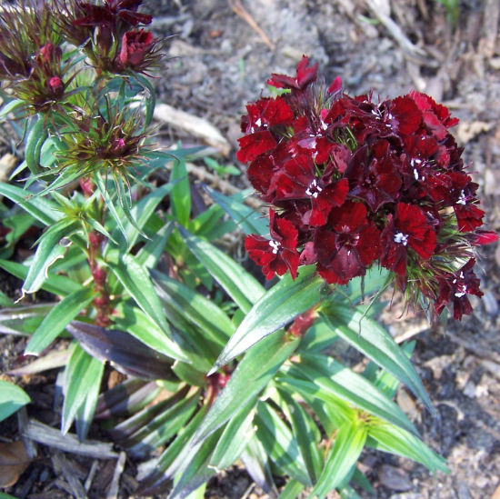 Dianthus Barbatus Perennial - Mounding and Container Plant ...