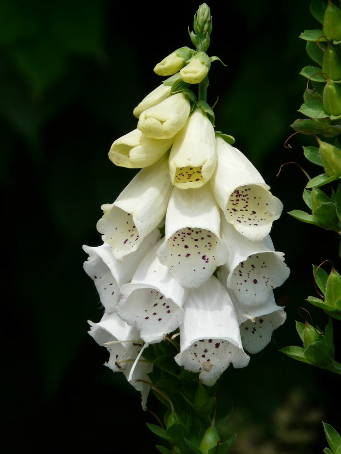 Foxgloves will bloom in a variety of colors.