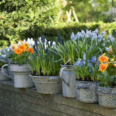 Tulips and Hyacinths in galvanized planters