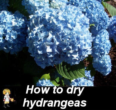 How to dry hydrangeas by the water method.