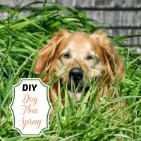 DIY dog flea spray