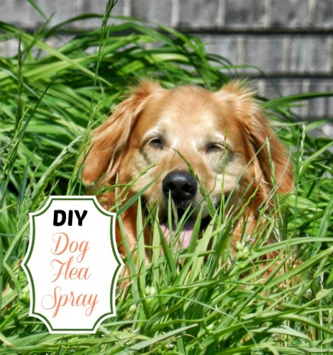 Diy dog flea spray go green the gardening cook - Home remedies to keep fleas away ...