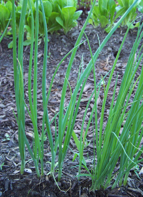 Growing spring onions.