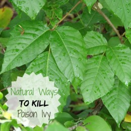 Natural ways to kill poison ivy