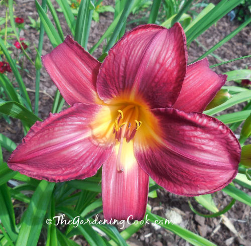 Red Vols Daylily was winner of the daylily of the year in 2000. The flowers are enormous.