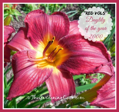 Red Vols was voted daylily of the year in 2000. See more photos of this beauty at thegardeingcook.com/red-vols-daylily-is-a-true-garden-stunner