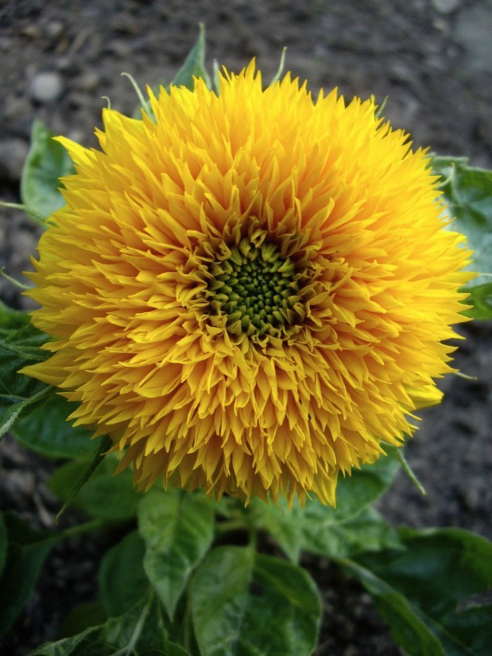 dwarf teddy bear sunflower
