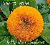 How to grow Teddy Bear Sunflowers