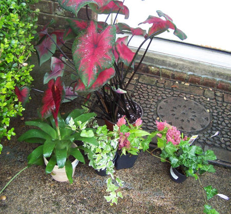 Plants for staggered planter