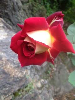 Osiria rose purchased from Palatine Nursery
