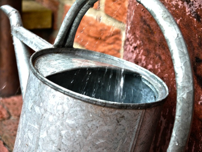 Add starchy potato water to a watering can