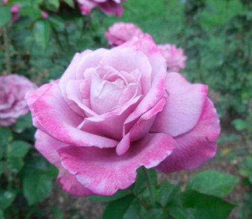 Raleigh Rose Garden Variegated Roses The Gardening Cook