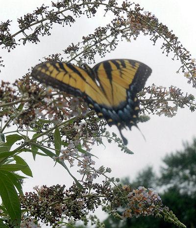 Monarch butterfly in a butterfly bush.