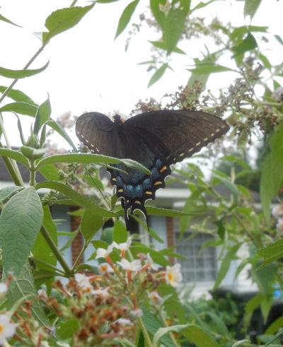 Butterfly feeding in my front garden.