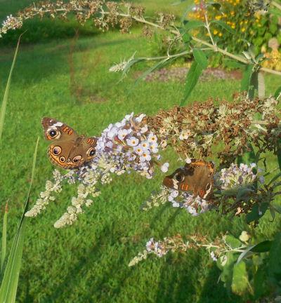 Two butterflies in one!