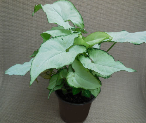 Exotic Allusion Syngonium Podophyllum The Gardening Cook