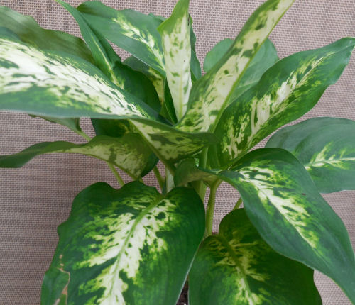 deiffenbachia leaves