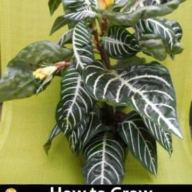 How to Grow Zebra Plants