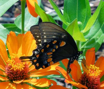 Butterfly on my zinnias