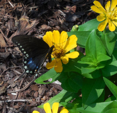 Dark Swallowtail and yellow zinnias.